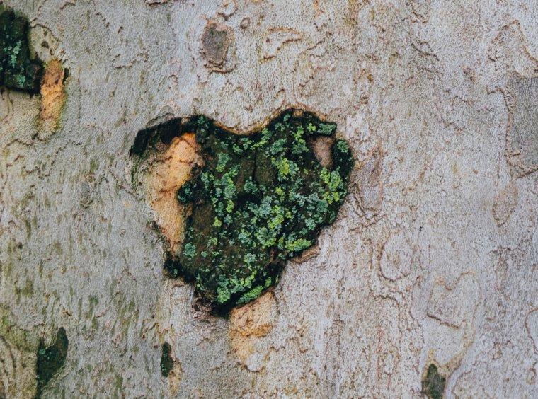 Moss heart on tree bark